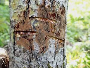 うるし林見学会 漆掻きで染み出る漆
